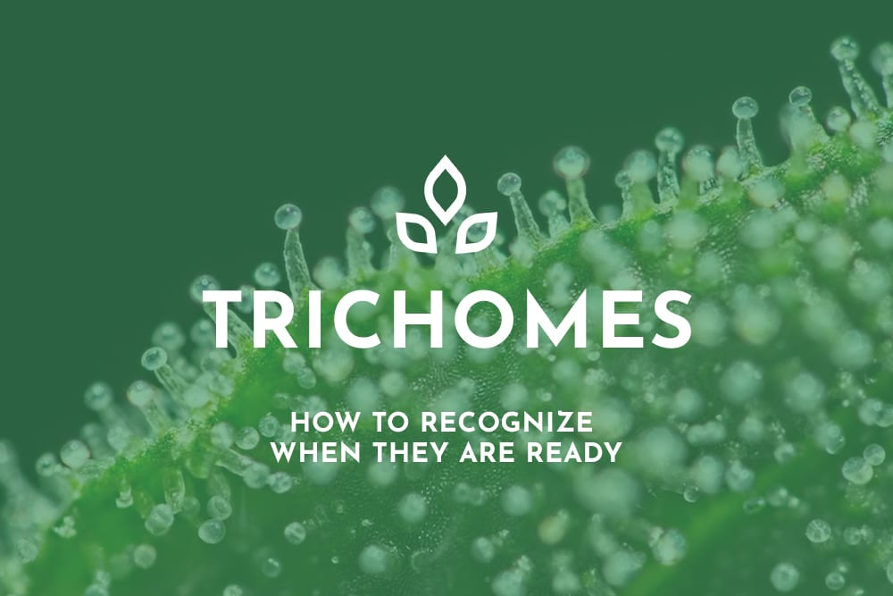 Trichomes
